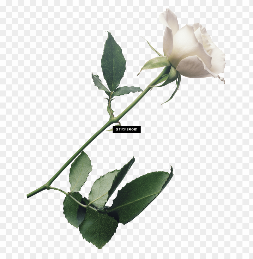free PNG white rose flower white rose roses - transparent white rose PNG image with transparent background PNG images transparent