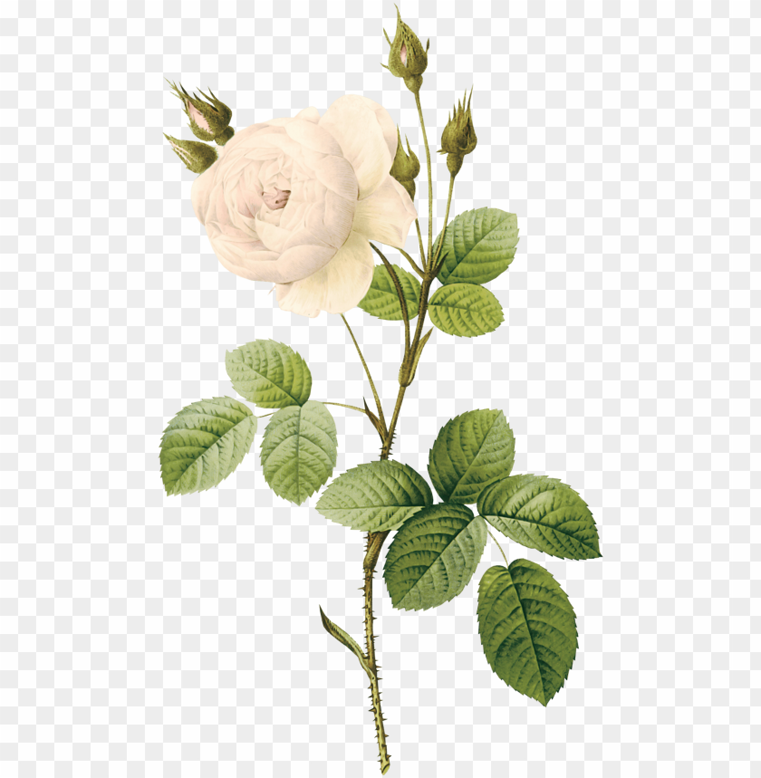 free PNG white rose png image, flower white rose png picture - white flower illustration PNG image with transparent background PNG images transparent
