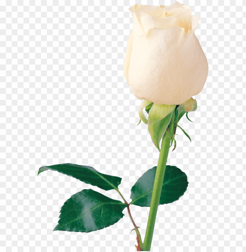 free PNG white rose png image, flower white rose png picture - white rose PNG image with transparent background PNG images transparent