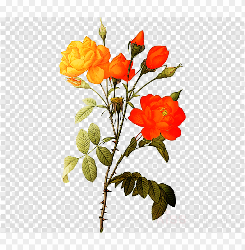 free PNG white roses png clipart botanical illustration - white rose flowers png hd PNG image with transparent background PNG images transparent