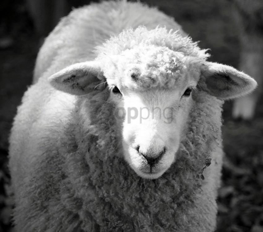 free PNG white sheep black sheep background best stock photos PNG images transparent
