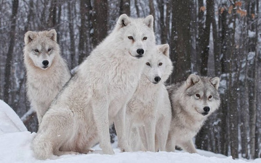 white snow wolves wallpaper background