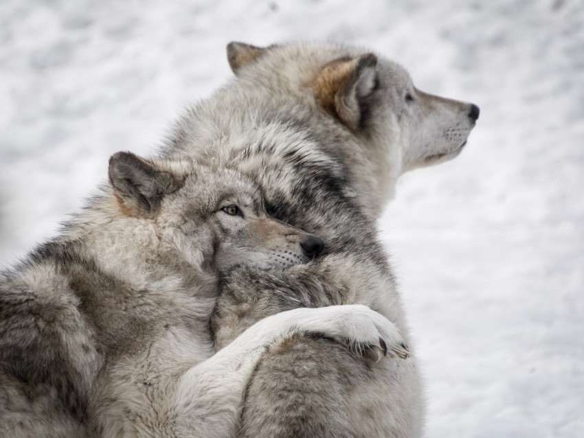 free PNG wolves, couple, care, wildlife, dogs background PNG images transparent