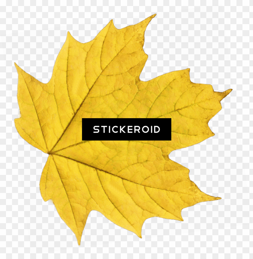 free PNG yellow maple leaf PNG image with transparent background PNG images transparent