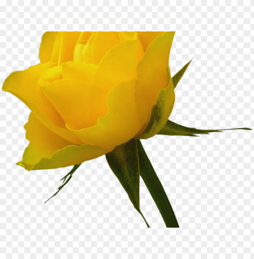 free PNG yellow rose clipart red rose outline - yellow roses PNG image with transparent background PNG images transparent