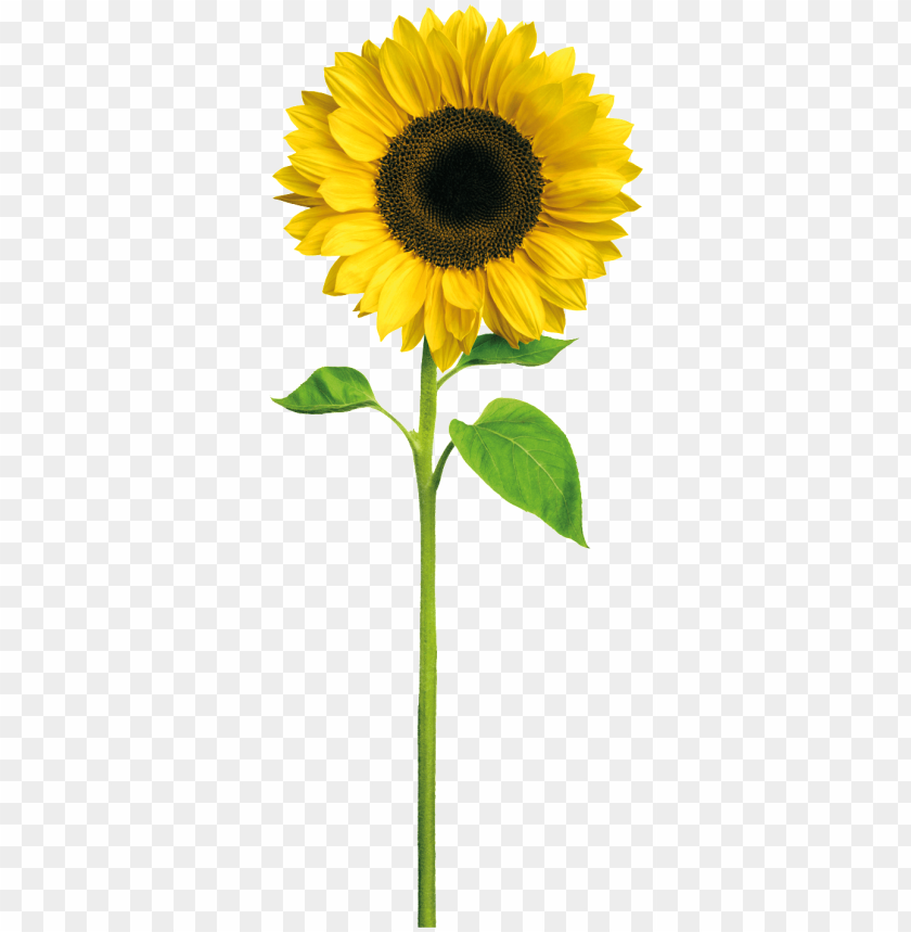 Yellow Sunflower Cartoon Transparent Sunshine Happy Birthday Daughter In Law Png Image With Transparent Background Toppng